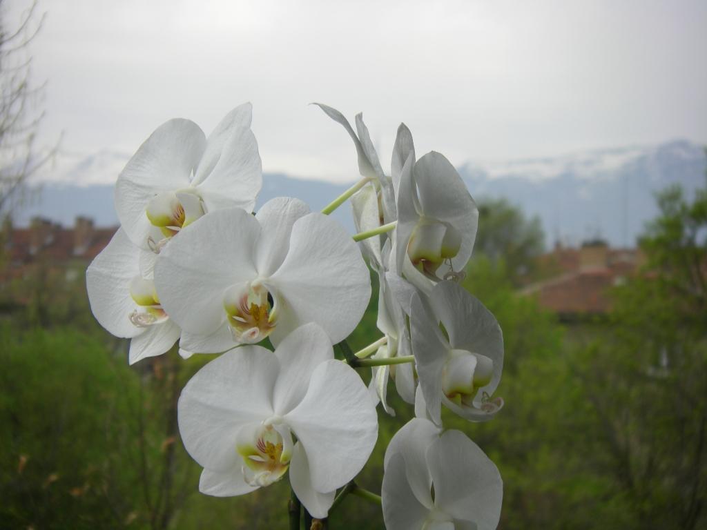 Планинска белота